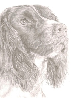 Image of `Springer Spaniel` Print by Rebecca Vose